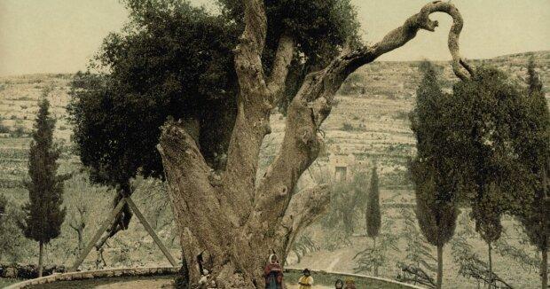 Библия предупреждала: рухнул 5000-летний дуб Авраама, пророчество о Конце света сбывается
