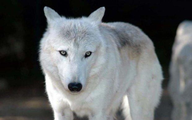 Небезпечний вовк розгулює по Україні, і це не Олег Винник