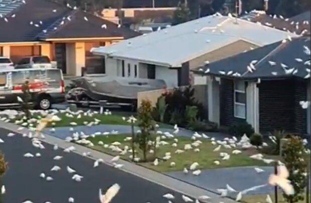 Попугаи в Австралии, скриншот с видео