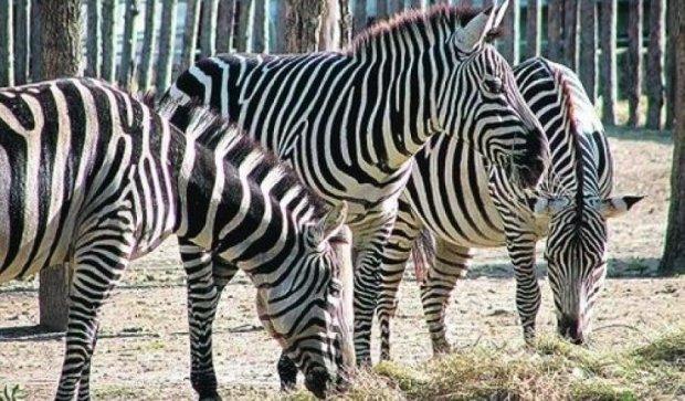 Ученые опровергли миф про полосы зебры