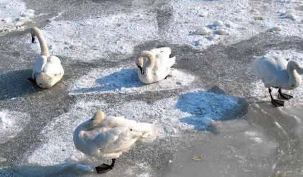 На Житомирщине лебеди примерзли ко льду