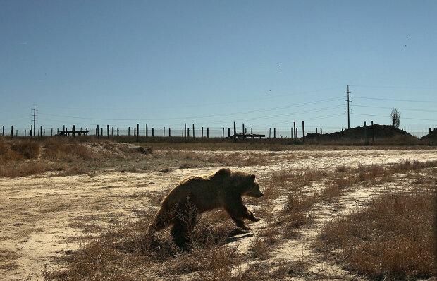 Ведмідь, фото: gettyimages