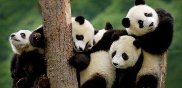 В китайском зоопарке девочка упала в вольер с пандами. Животные неоднозначно отреагировали на нежданного гостя