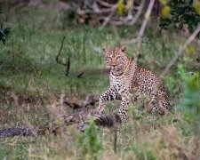 Сутичка пітона з леопардом, News Media