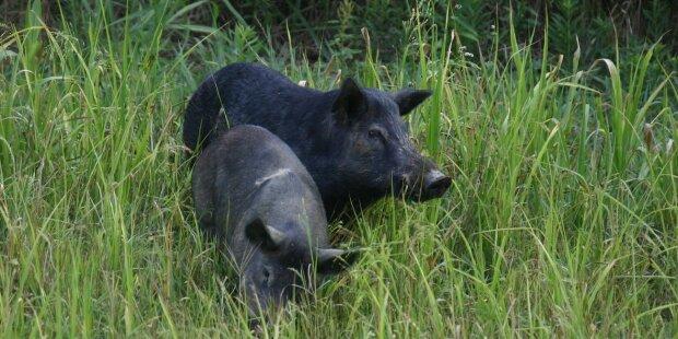 Дикие свиньи, фото: t1.ua