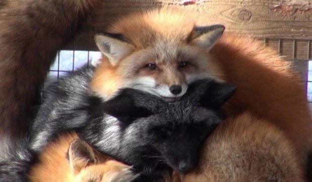 Як шість видів лисиць дружно живуть в одному таборі