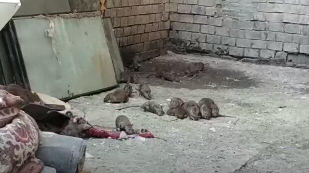Крысы в Одессе. скриншот с видео
