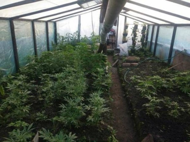 Наркодилер вырастил плантацию конопли в теплице под Киевом