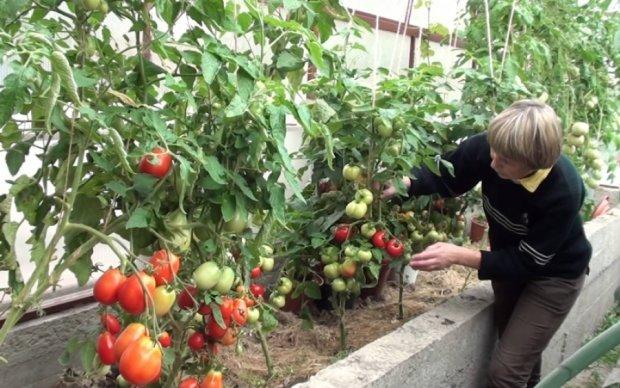 По самі помідори: кримські окупанти завалять РФ томатами