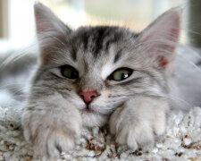 кішка