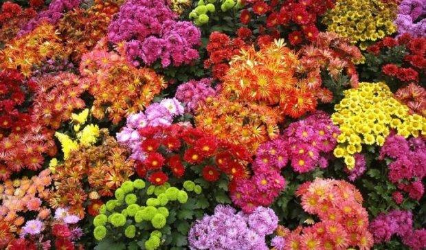 Виставка хризантем здивує інсталяцією рекордних розмірів