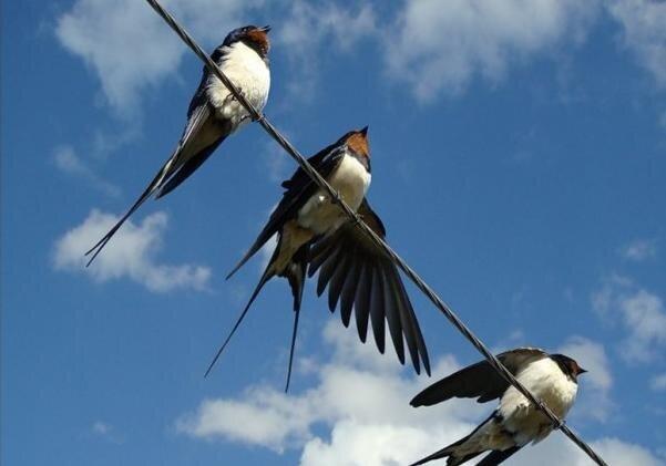 Ластівки - дивовижні птахи фото kp.ua