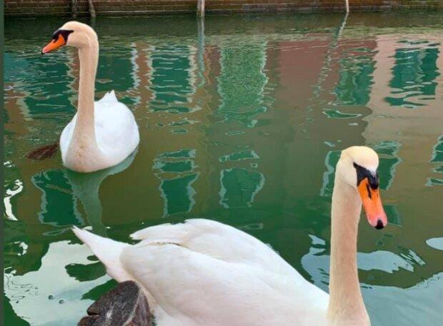Лебеді у Венеції, фото: twitter.com/ikaveri