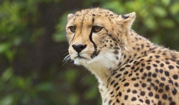 Камера показала бег гепарда от первого лица