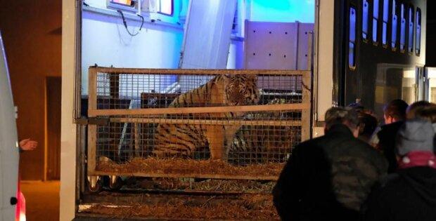 """На польской границе неделю """"маринуют"""" тигров: 10 истощенных животных погибают в клетках"""