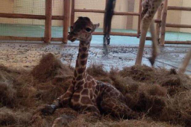 Дитинча жирафа, фото: Facebook Михайло Пінчук