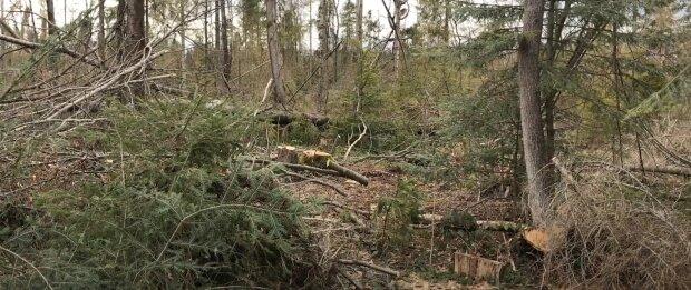 На Прикарпатті слуга народу нарубав лісу на мільйон