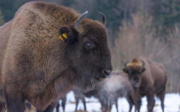 Не только в Польше: украинские Карпаты пополнились редкими животными