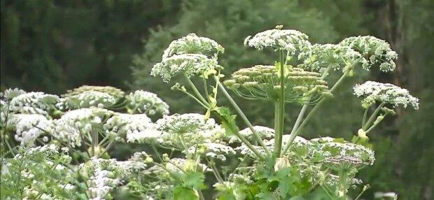 """У Тернополі борються з небезпечною рослиною, в групі ризику – діти, - """"Пропалює до кісток!"""""""