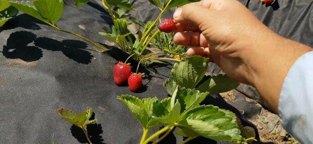 Полуниця, фото: скріншот з відео