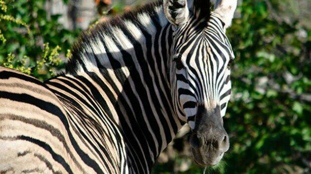 По Харькову разгуливает зебра, дети в опасности: куда могла пойти полосатая беглянка