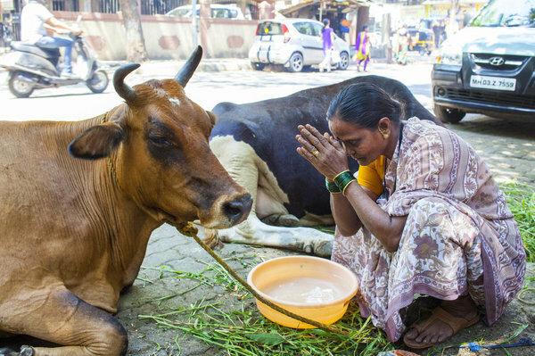 В Индии корову считают священным животным, иллюстративное фото из свободных источников
