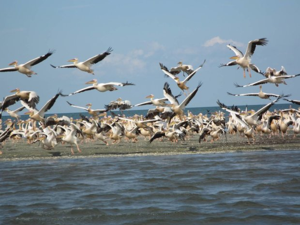 До України в розпал зими повернулися блудні пелікани: заворожуючі кадри