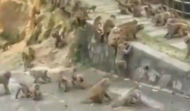 В китайском заповеднике сняли массовую драку обезьян