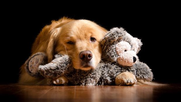 Дуже жадібна собака довела соцмережі до істерики: Дейзі не ділиться іграшками
