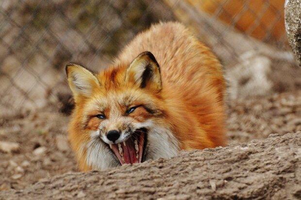 Скажена лисиця напала на чоловіка під Києвом, гвалт на всю область: дикі подробиці