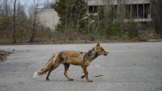 Чорнобиль заполонили рідкісні тварини: такого не побачите у зоопарках