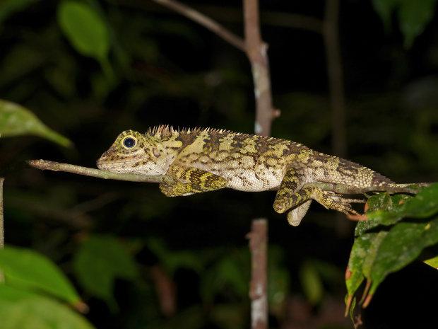 Лісові дракони: вчені відшукали рептилій з унікальним феноменом