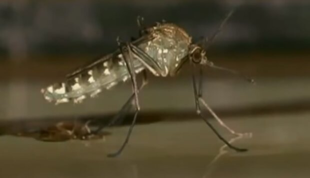 Комар, скріншот: Youtube