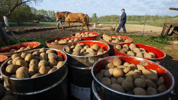 """Картопля в Україні, фото """"Сегодня"""""""
