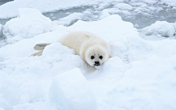 Зграя зловісних тюленів захопила ціле місто: люди благають про допомогу