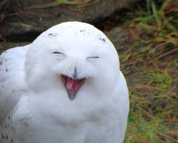 Сова сміється - фото з відкритих джерел