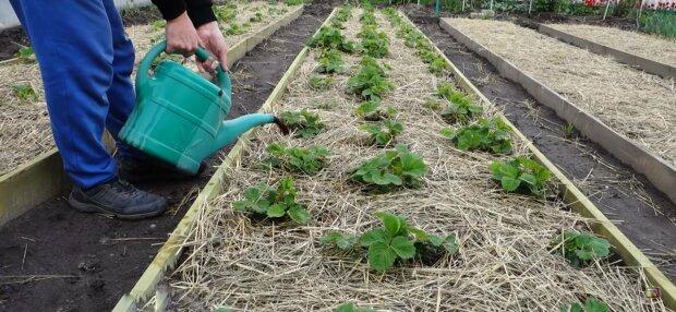 Полуниця на городі, фото: скріншот з відео