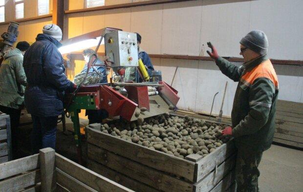 """Цены на картофель в Украине и Эстонии: сколько стоит """"второй хлеб"""" дома и за рубежом"""
