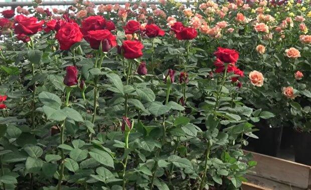 Вирощування троянд, скріншот: YouTube
