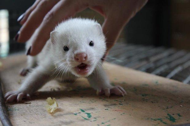 У Німеччині закрили останню хутряну фабрику заради порятунку тварин: на черзі Україна