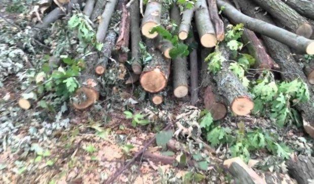 Під Києвом варварськи вирубують ліс
