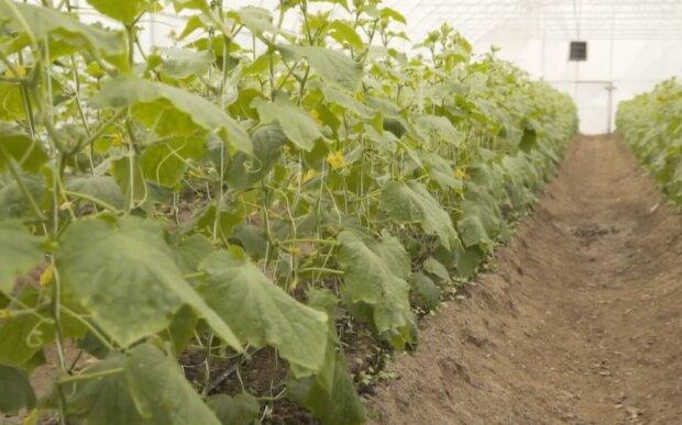 Вирощування огірків, скріншот: YouTube