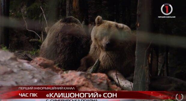 """На Закарпатье аномальная зима не дает косолапым покоя, никак не улягутся: """"не засыпают уже два года"""""""