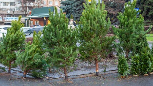 новорічні ялинки, фото: Інформатор