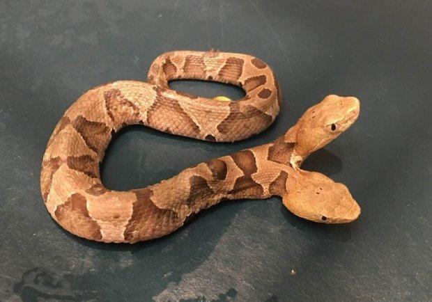 ВСША обнаружили необыкновенно  редкую змею: медноголового щитомордника с 2-мя  головами