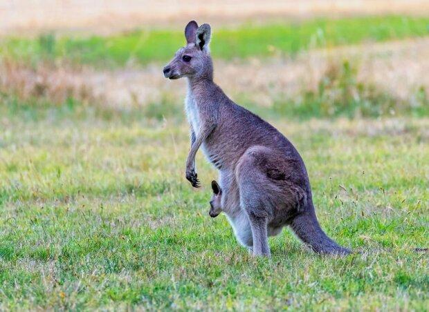 мама-кенгуру з дитинчам, фото:pxhere