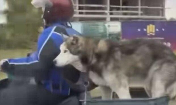 """В Киеве заметили собачье """"такси"""": """"Почему без каски?"""""""