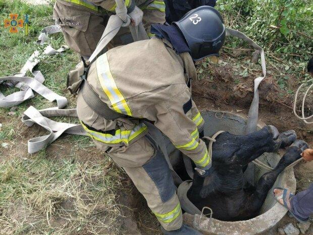 Рятувальникам довелося витягувати корову з колодязя