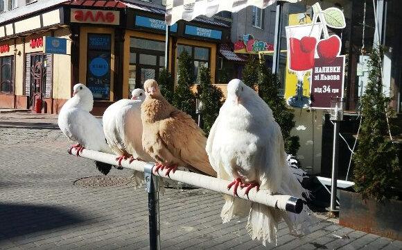 """Мер Марцінків відправив франківських голубів """"на гастролі"""""""