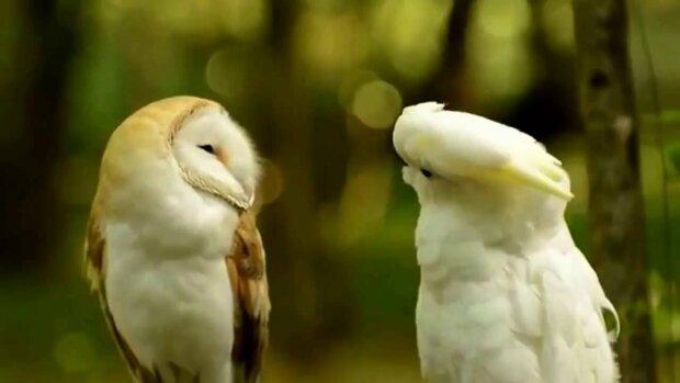 Сова і папуга, YouTube